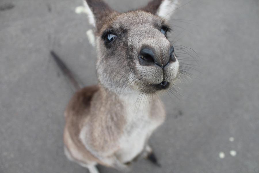 kangaroo-1149807_1920