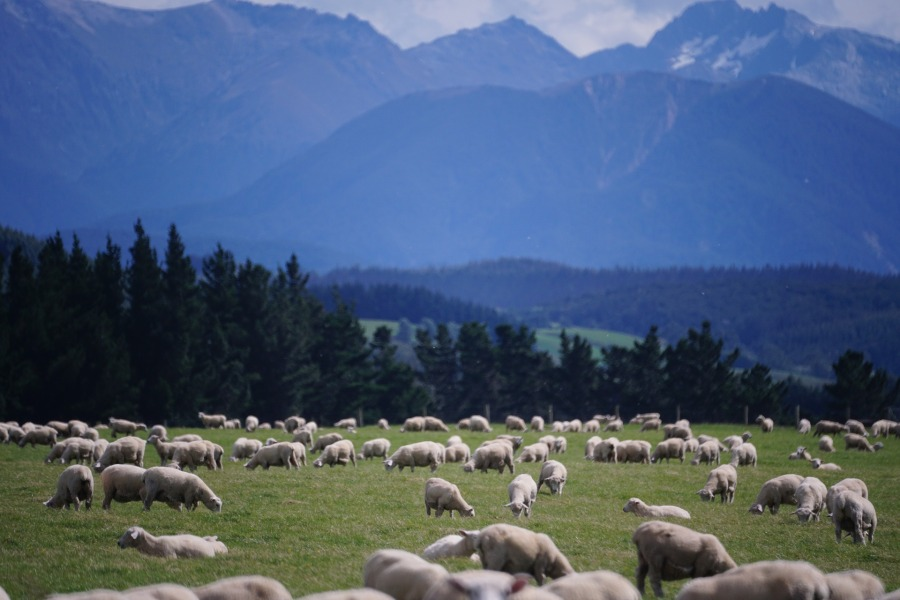 sheep-1766722_1920