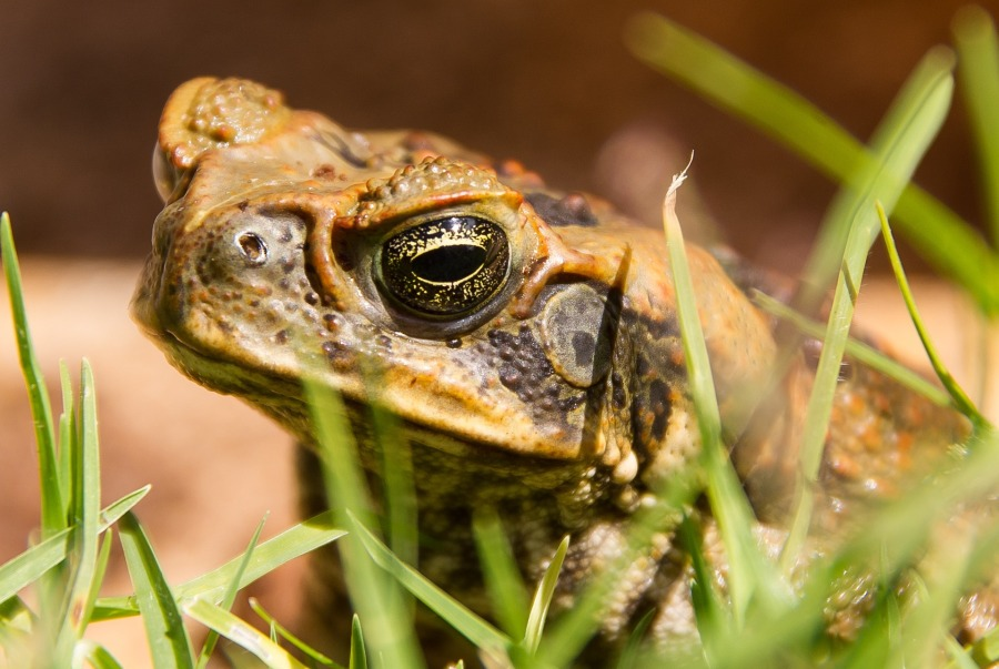cane-toad-1316007_1920